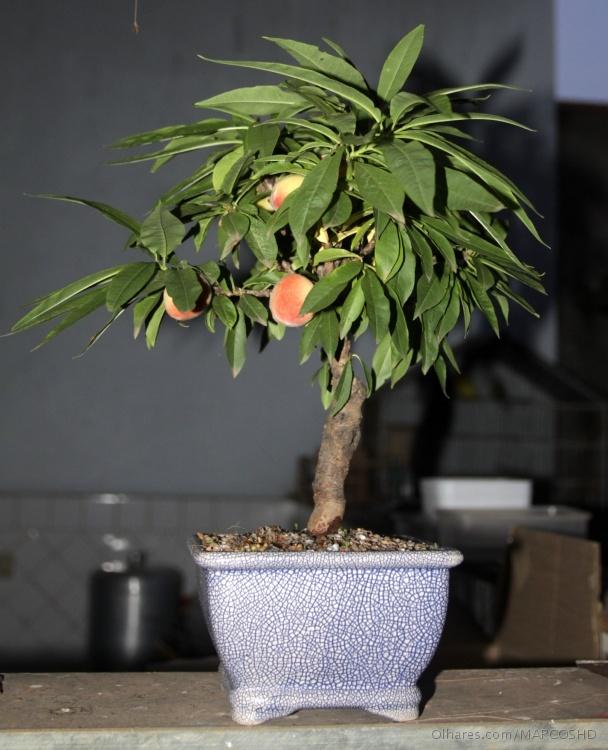Salada de frutas bonsai frut feras - Cultivo de bonsai ...