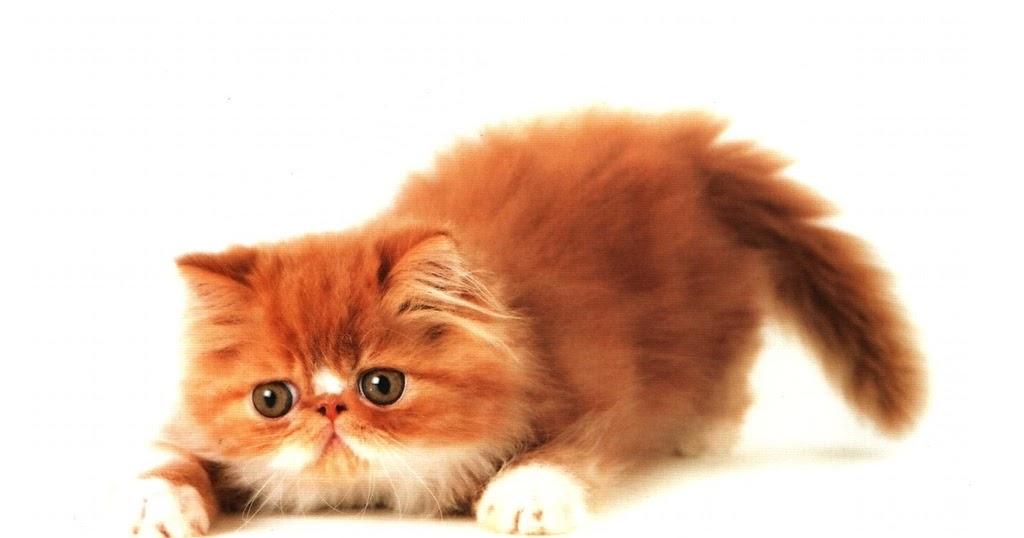 Kucing Trik Merawat Bulu Kucing