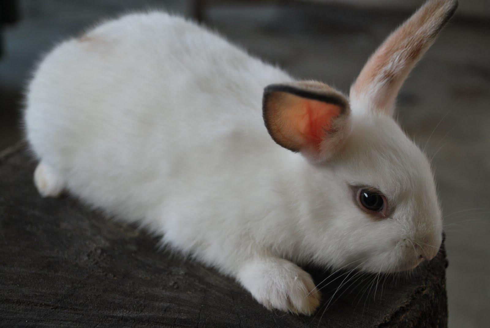Разведение кроликов в домашних условиях для начинающих 16
