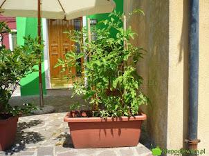 Podpory pomidorów – pomysły do ogrodu i na balkon