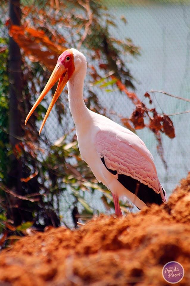 #Milky Stork Mycteria cinerea