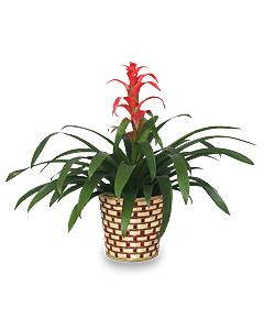 tropical bromeliad plant - Tropical House Plants