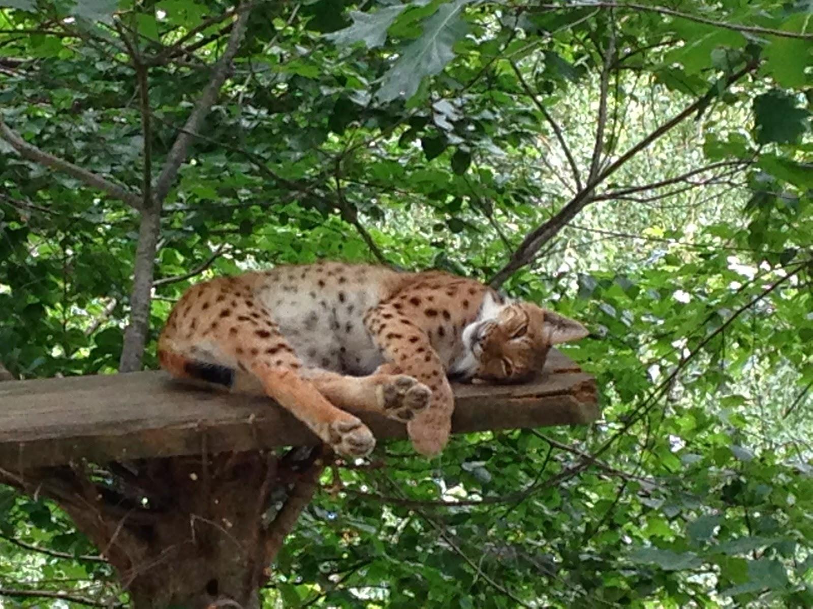 Lince en el Parque de los animales Pirenáicos