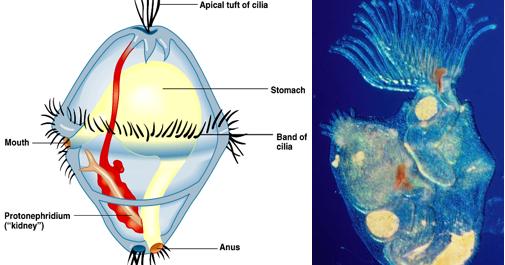 Largo ciclo de vida lentets de um parasita