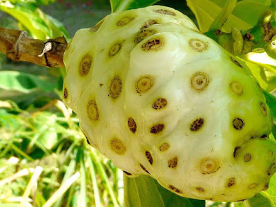 What The Health Benefits of Noni Fruit For Woman Healthy and Beauty