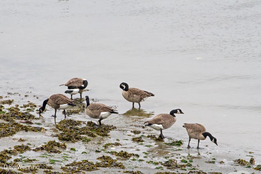 Canada Goose chateau parka sale authentic - Wild Fidalgo: Lesser Canada Goose?