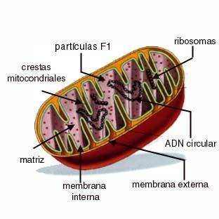 estudio adn mitocondrial: