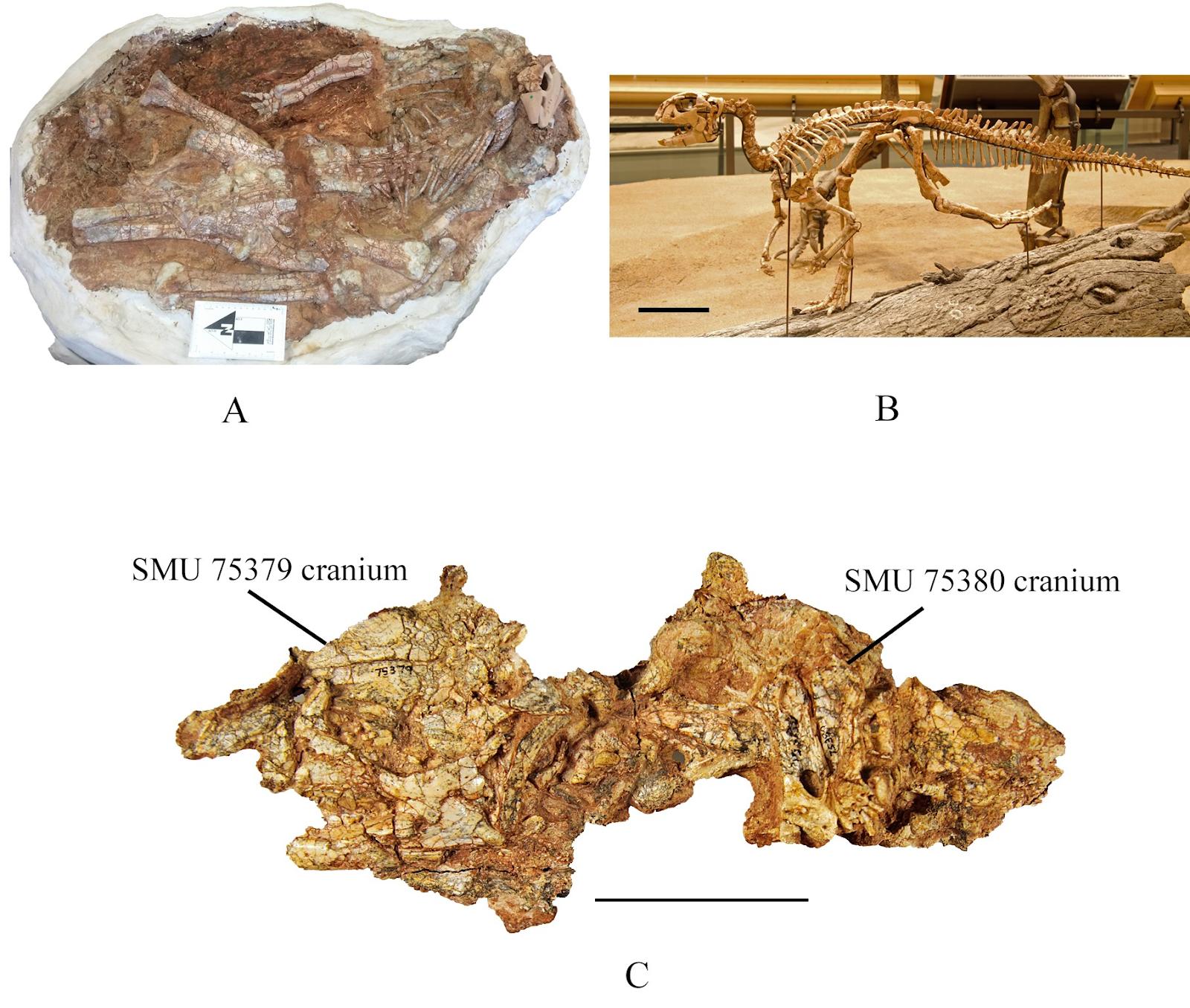 [Image: Convolosaurus_marri-novataxa_2019-Andrze...Jacobs.PNG]