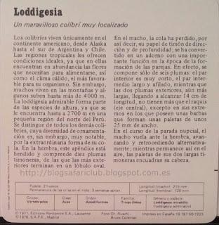 Blog Safari Club, características de la Loddigesia, un maravilloso colibrí muy localizado