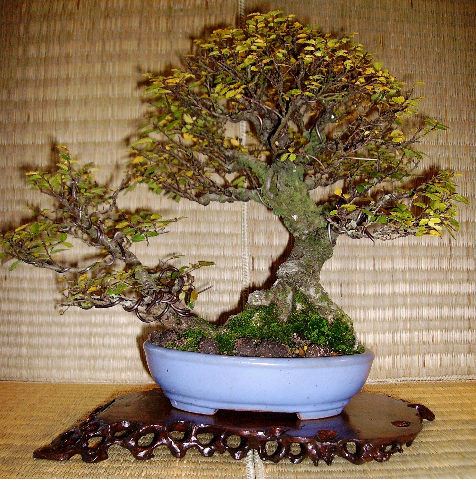 Bespoke Bonsai Stands Some Of My Shohin Trees Displayed