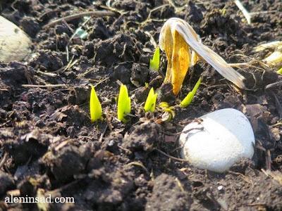 Iris, ирисы, весна, веcной, ростки, черенки, аленин сад, aleninsad