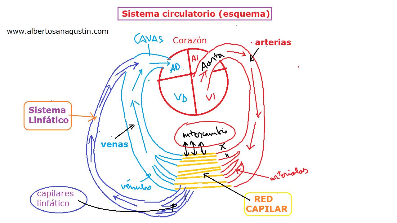 Vistoso Diagrama Circulatorio Composición - Imágenes de Anatomía ...