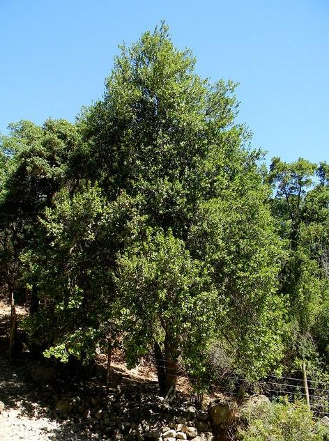 Especies chilenas el belloto del sur beilschmiedia for Poda de arboles zona sur