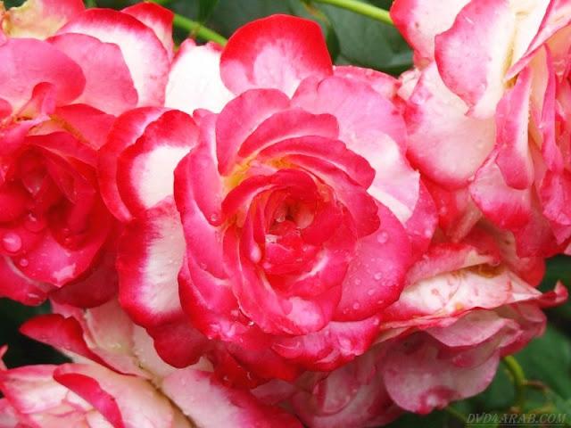 تتكاثر النباتات الزهرية تكاثرًا جنسيًا