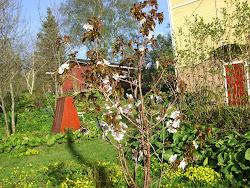 Kuriilienkirsikka kukkii