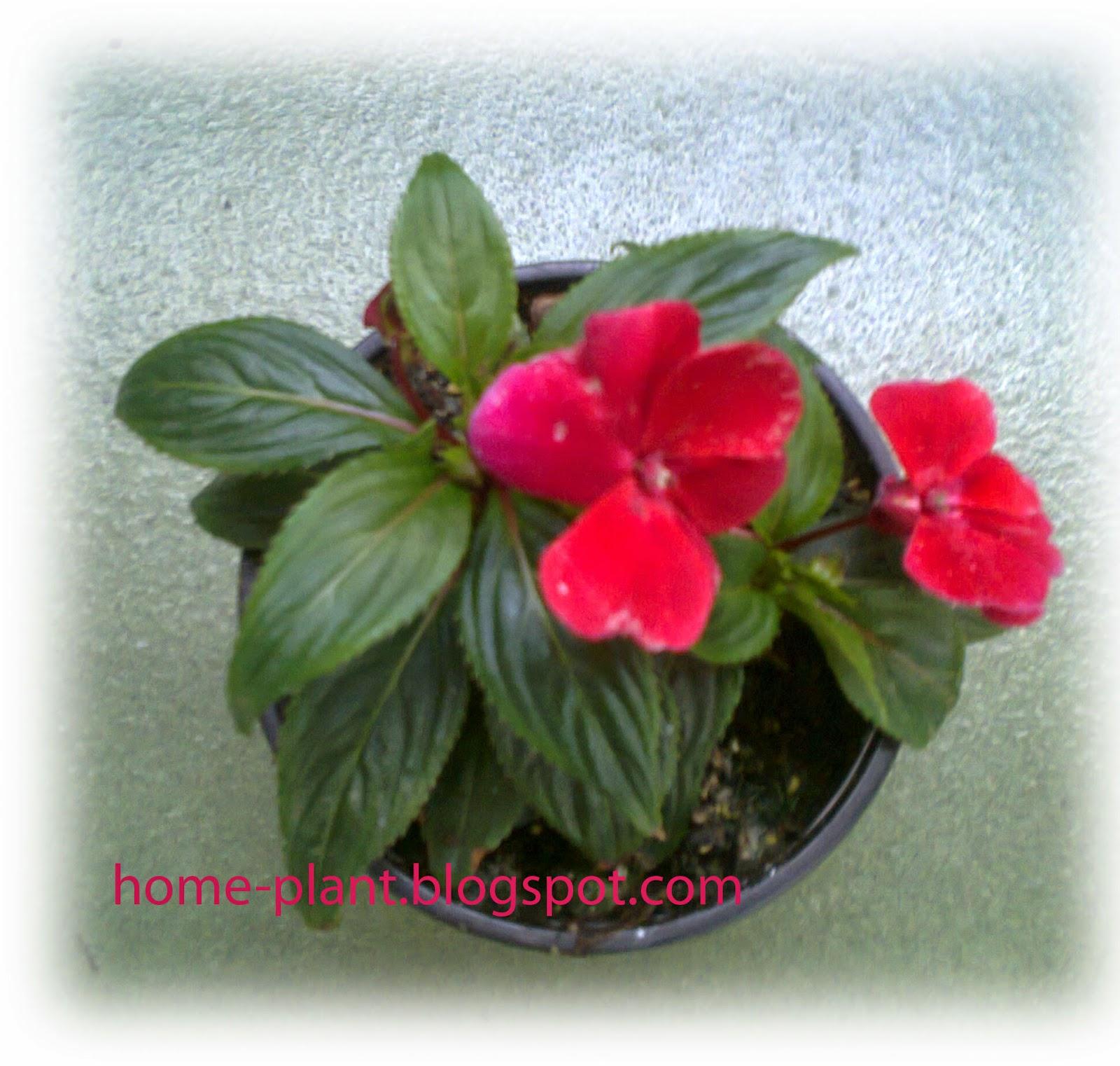 Бальзамин или огонек - любимое домашнее растение 3