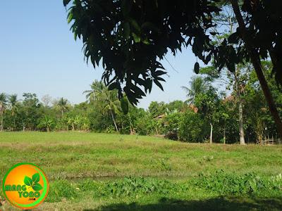 Pohon buah mangga golek saya dekat sungai Ciasem, dusun Gardu..