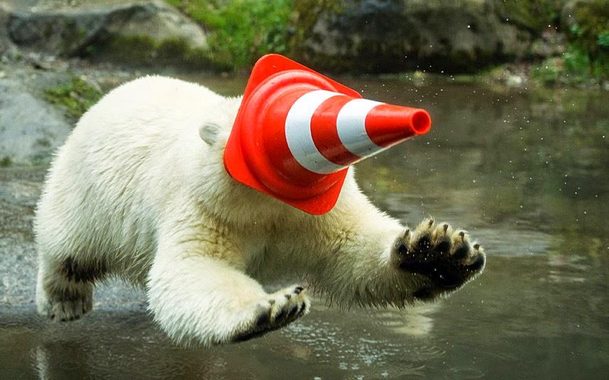 دب قطبي يلعب بقمع المرور