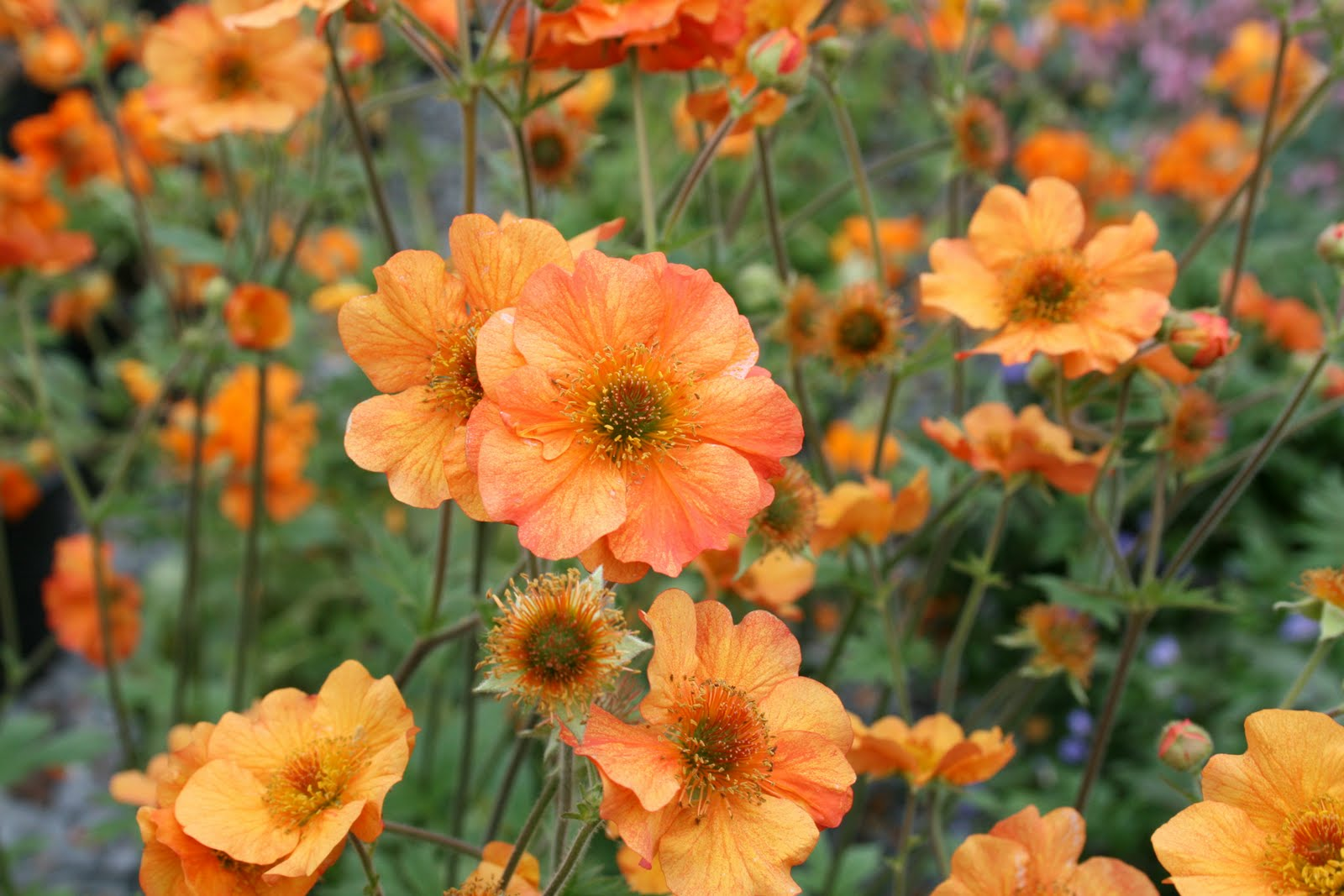 Grounded design by thomas rainer hot plants for spring 2011 geum totally tangerine bred by tim crowther uk image from bluestone perennials mightylinksfo