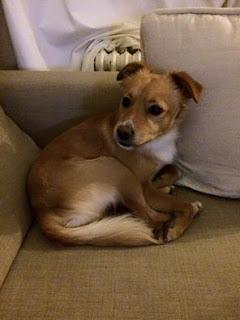 Χαθηκε απο την Άνοιξη Αττικής σκυλάκι με τσιπάκι και μαύρο πουλοβεράκι με κίτρινους ρόμβους. Τον έχει δει κανείς?