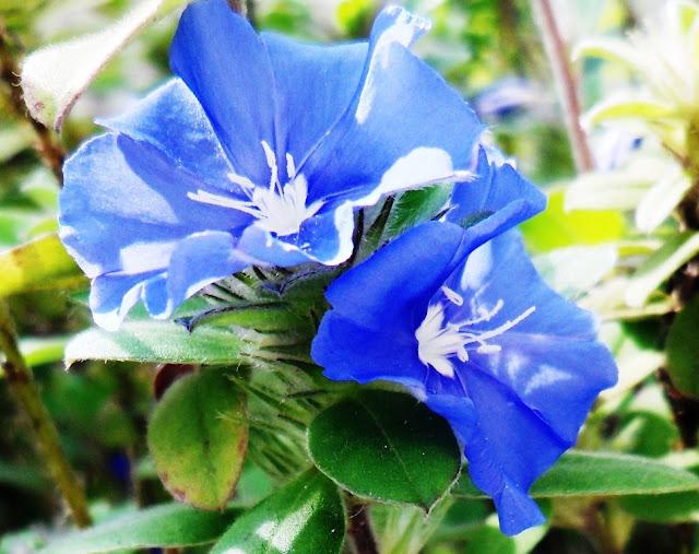 Mini flor, mas de uma beleza impar... enfeita qualquer jardim...