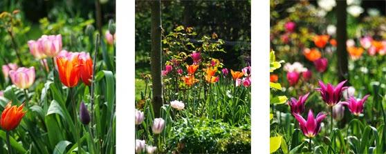"Blomstrende bede med tulipanerne Tulipaner ""Ballerina"",  ""New Design"", Don Quichotte og ""Maytime"""