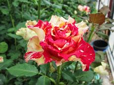 ▼日本一に輝いたバラ