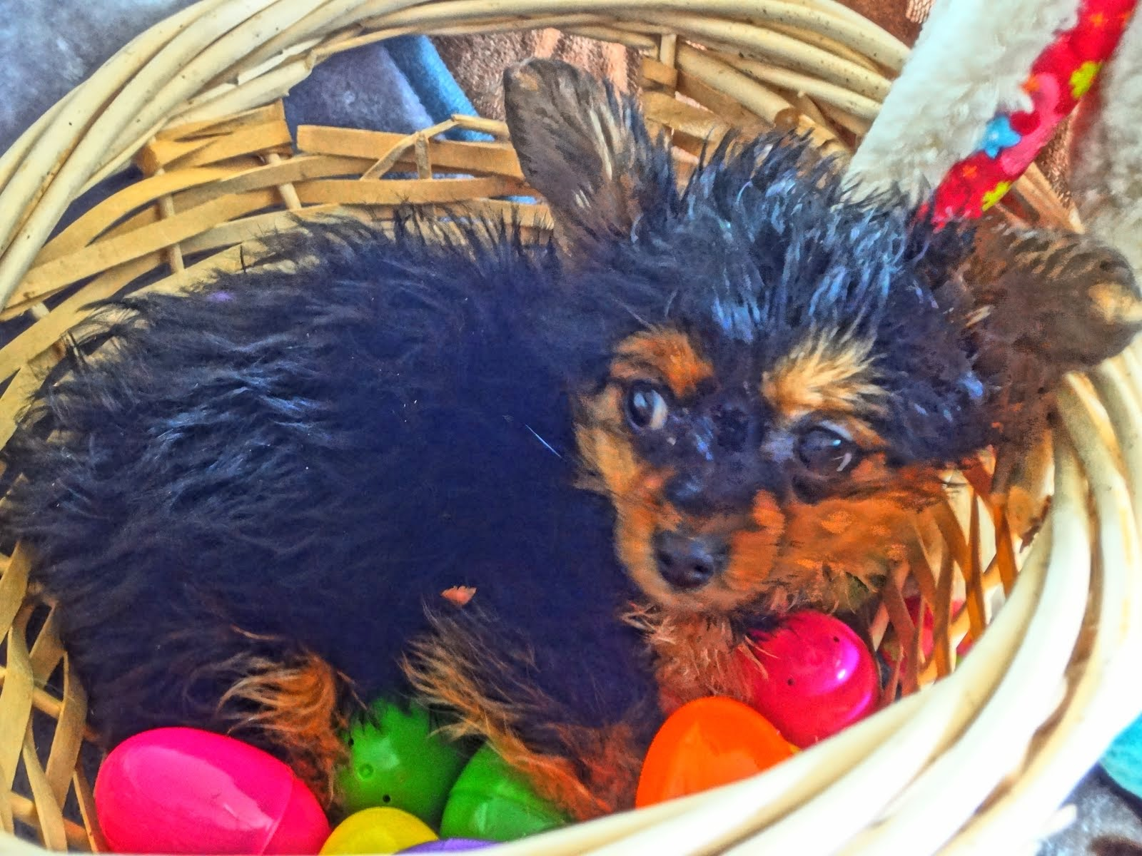 Tiny Chorkie puppy