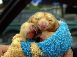 Silky Anteater images