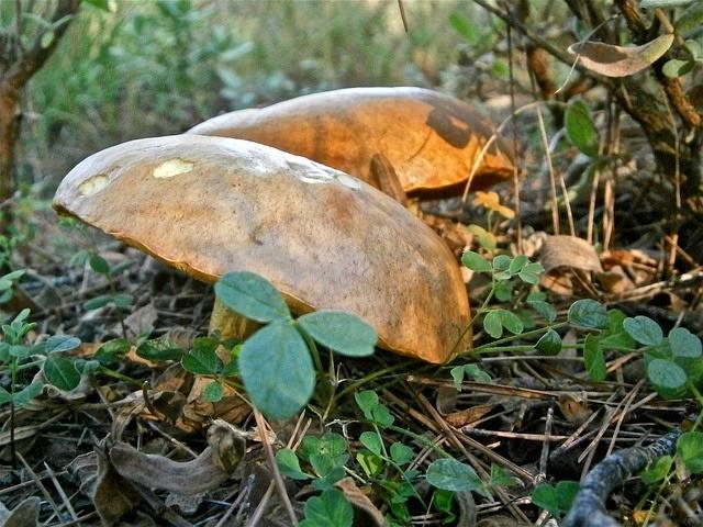 envenenamiento por plantas y hongos: