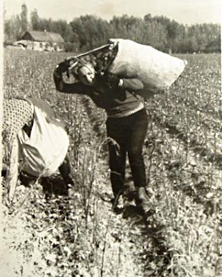 студены собирают урожай хлопка