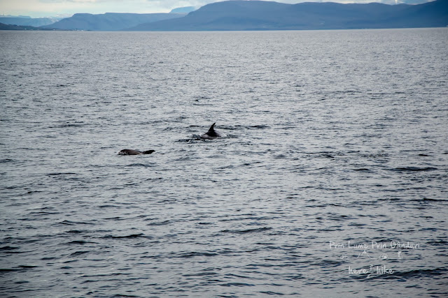 honeymoon-iceland-whale-dolphin swimming