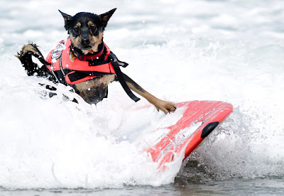 10 pictures of surfing dogs from the 2012 Incredible Surfing Dog Challenge, surfing dogs, funny dogs, surfing dog pictures