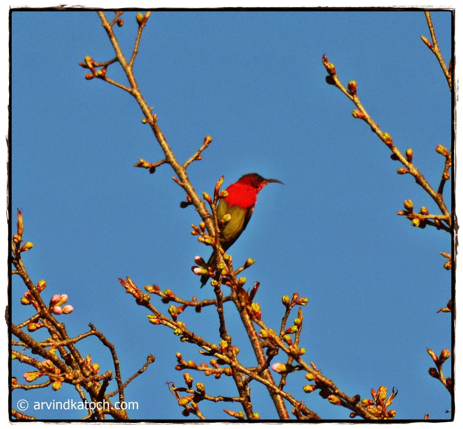 Tree, Branch, Sunbird, Crimson Sunbird