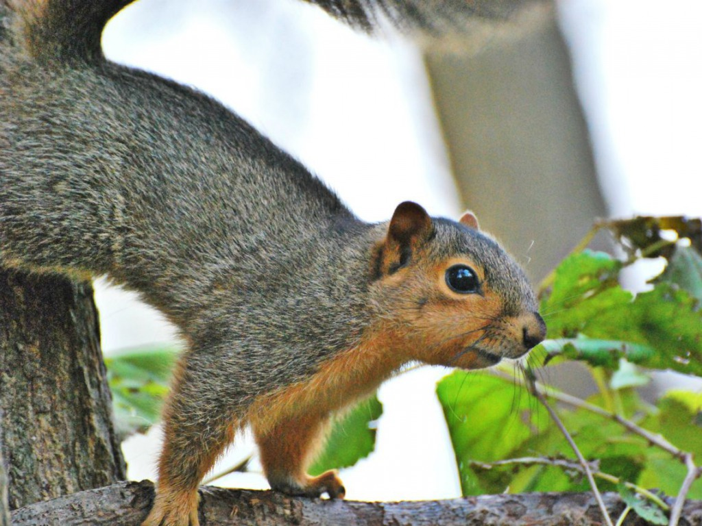 squirrel wallpaper - photo #15