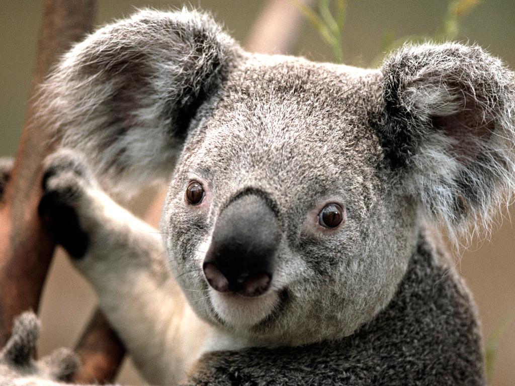 http://4.bp.blogspot.com/-vyyT4dMYQQM/TqAXIlyJz5I/AAAAAAAAAp8/7qxFsXV6g60/s1600/Koala.jpg