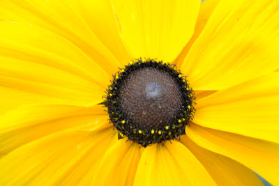 photo of black eyed susan flower by Nancy Zavada