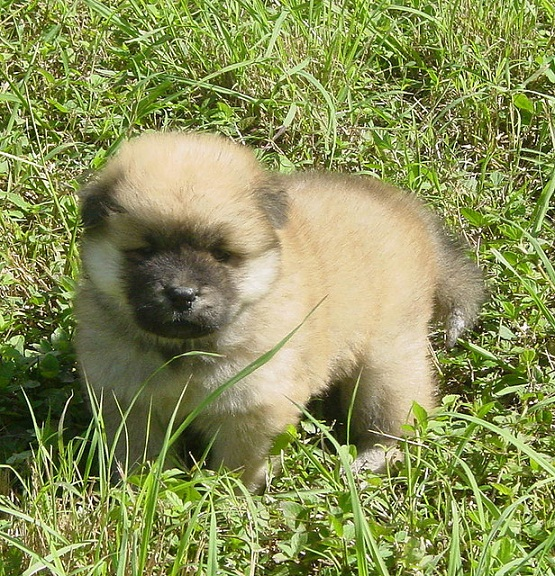 Chow Chow Puppies Information Wallpaper Download