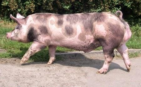 Lợn Pietrain