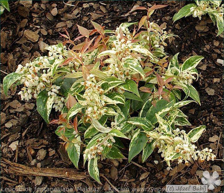 Leucothoe fontanesiana 'Makijaz' - Kiścień wawrzynowy 'Makijaz' kwiaty