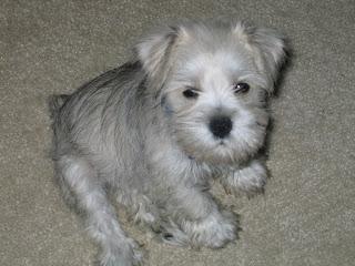 Schnauzer Puppy Pictures
