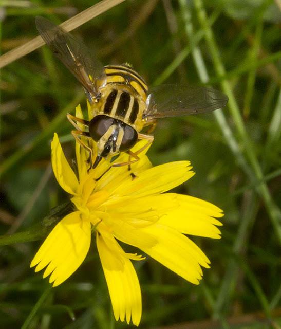 Hoverfly, Helophilus pendulus.  Knole Park, 22 September 2012.
