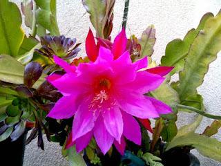 bunga wijayakusuma bunga merah