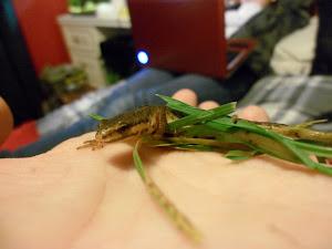 Newton the newt