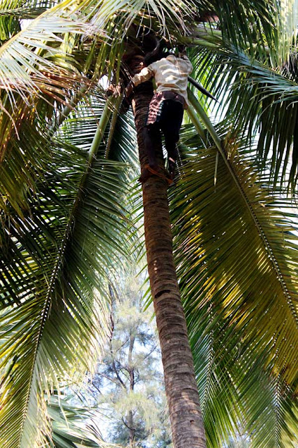 man climbing a coconut tree