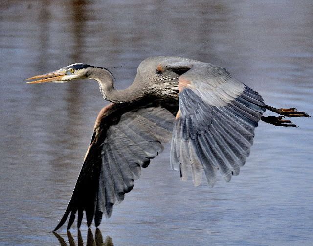 great blue heron the animals kingdom