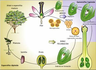 Tipos De Reproduccion Asexual En Plantas Y Ejemplos