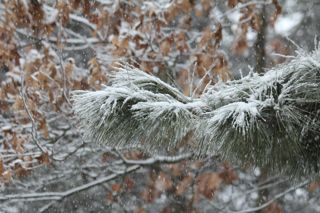 photo of snow on white pine and oak