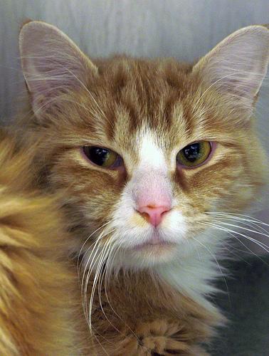 Ottawa Humane Cat Respiratory