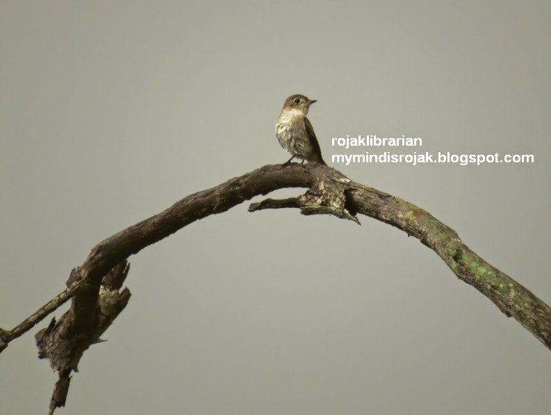 Asian Brown Flycatcher in Tampines Eco Green